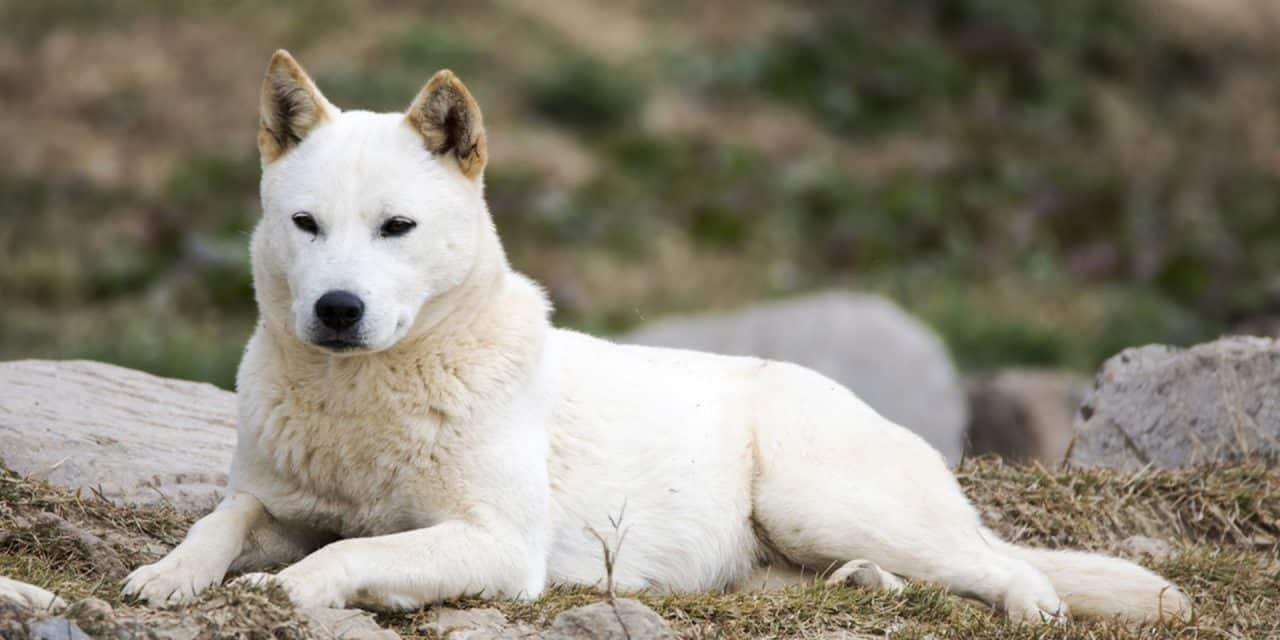 سگ جیندوی کره ای