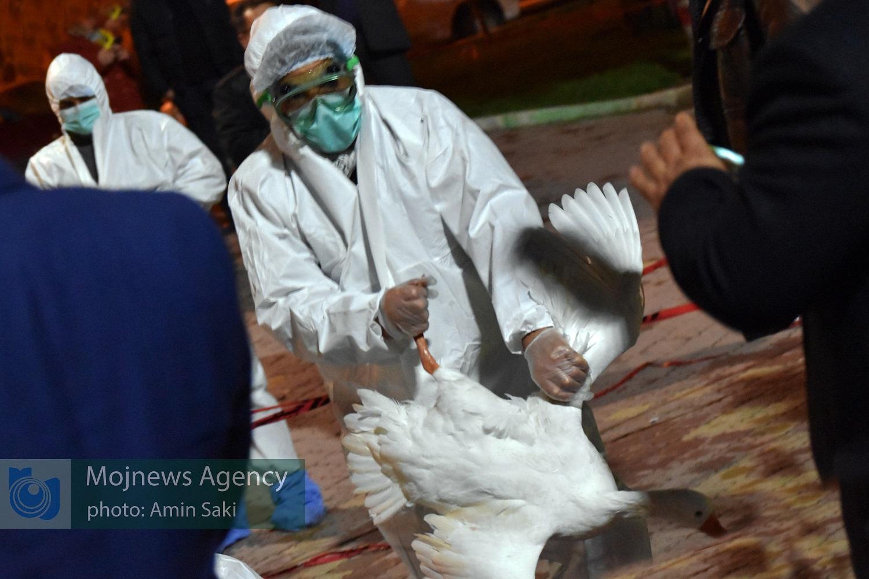 آنفولانزای پرندگان دریاچه کیو