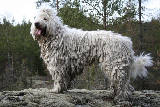سگ کوموندور komondor