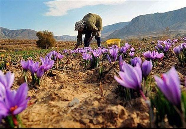 کشت زعفران در کرمانشاه