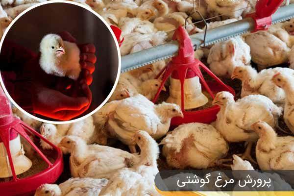پرورش مرغ گوشتی1