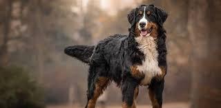 سگ کوهستانی برنس Bernese Mountain Dog