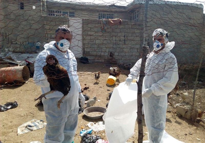 روستاها مستعدترین مناطق برای شیوع آنفولانزای پرندگان در کرمانشاه