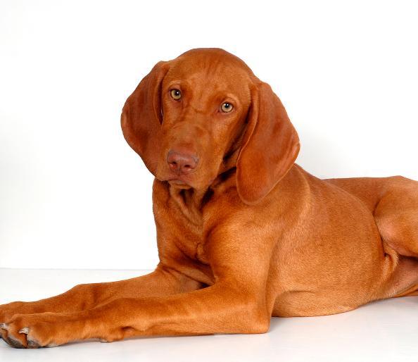 سگ ویزلا Vizsla