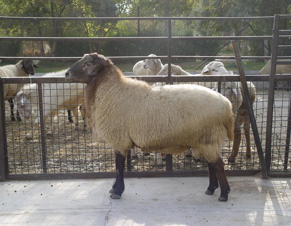 گوسفند مهربان