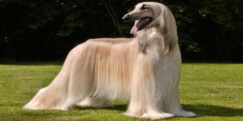 سگ تازی افغان