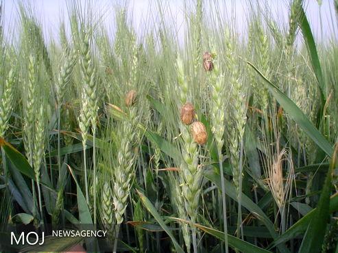 مبارزه با آفت سن در مزارع گندم و جو از مرز یک میلیون و ۶۵۴ هزار هکتار گذشت