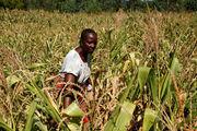 نیمی از مردم زیمبابوه با مشکل گرسنگی دست و پنجه نرم می کنند