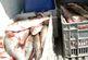 کشف محموله 22 تنی ماهی قاچاق