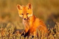 زنده گیری و رهاسازی یک  قلاده روباه در  فلاورجان