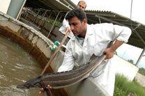 رادیو نمایش ماهی خاویاری تولید میکند