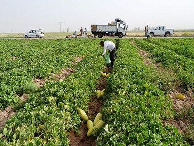 ۶۰۰۰ تن محصولات جالیزی در سرایان برداشت می شود