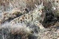 برای نخستین بار حضور گربه وحشی در پناهگاه حیات وحش شیرکوه ثبت شد