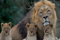 نمای نزدیک از زندگی شیرهای کویر در شبکه یک
