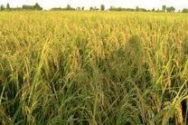 ۴۰ درصد از برنج کشور در گیلان تولید میشود
