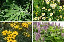 کلکسیون گیاهان دارویی در استان زنجان تهیه میشود