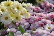 نمایشگاه وجشنواره گل های داوودی در باغ گل های اصفهان