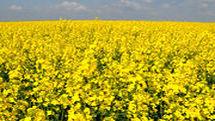 بیش از هزار و 300 تن کلزا از مزارع استان اصفهان برداشت شد