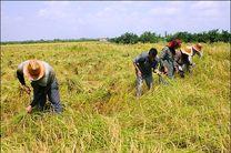 نخستین برداشت برنج رودسر آغاز شد