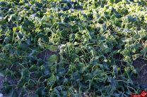 2 هزار هکتار از مزارع کشاورزی میناب دچار سرمازدگی شد