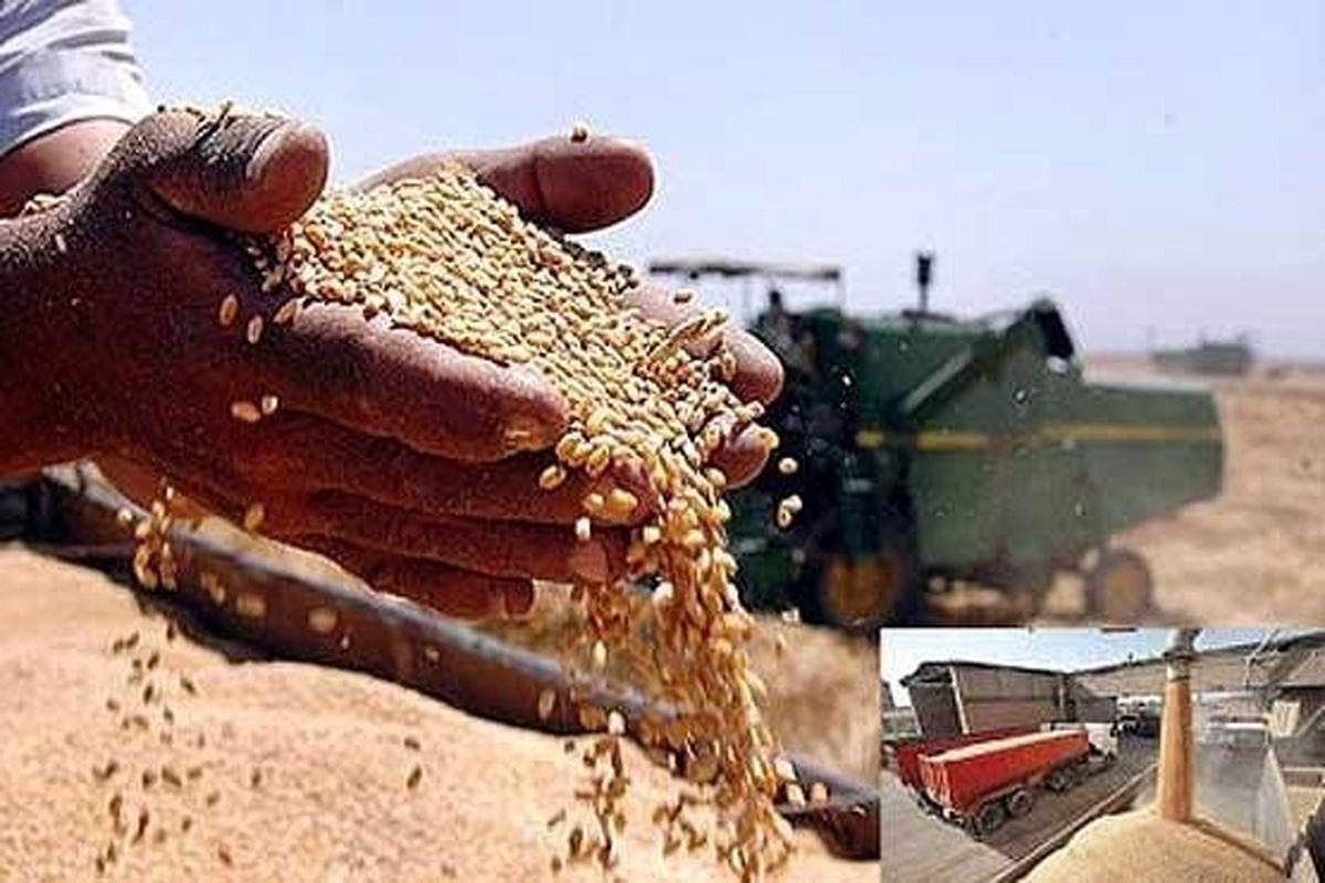 تولید گندم در کرمانشاه 23 درصد افت داشته است