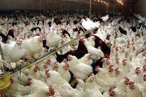 استان قم با ١١٤ کانون دارای بیشترین تعداد کانون بیماری آنفلوآنزای فوق حاد پرندگان