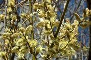 پیش بینی برداشت بیش از 700 تن گل بیدمشک در کاشان