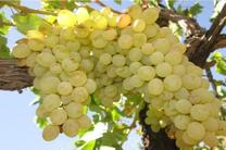 پیش بینی برداشت 70هزار تن انگور از تاکستان های استان اصفهان