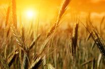 وزارت جهاد کشاورزی خرید گندم از قاچاقچیان را بی اساس خواند