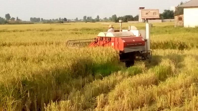 برداشت برنج از 208 هزار هکتار شالیزارهای مازندران