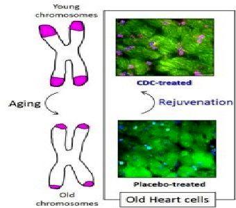 جوانکردن قلب موشهای پیر با تزریق سلولهای بنیادی