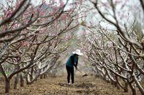 خسارت بیش از 60 میلیارد تومان به بخش کشاورزی اسدآباد بر اثر بارش تگرگ و باران