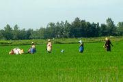خشکه کاری برنج در 28 هکتار مزارع بهشهر