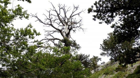 درخت کاجی که 1230 سال دارد
