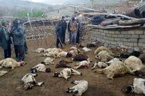تلف شدن 22 راس دام در کرمانشاه با حمله گرگها