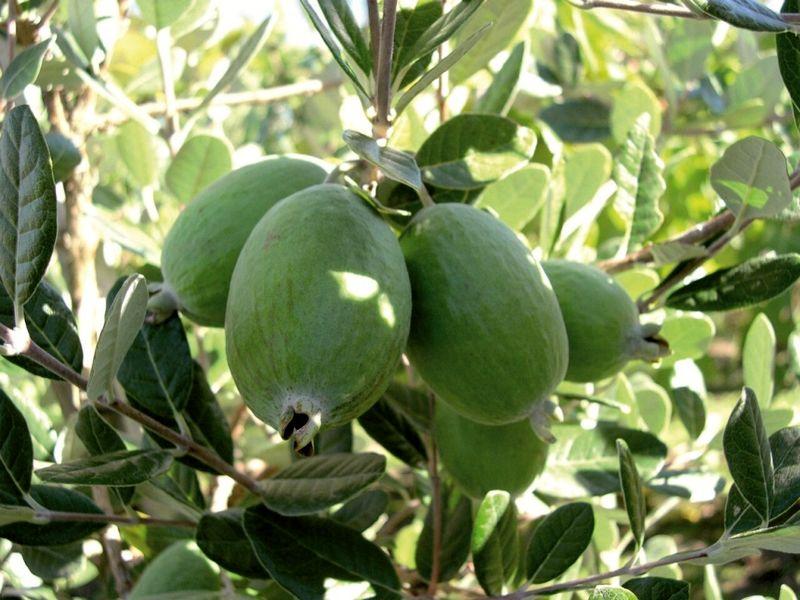آغاز برداشت میوه فی جوا در عباس آباد