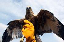 یک عقاب در کویر بادرود رهاسازی شد