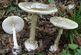 کدام قارچ ها سمی و خطرناک هستند؟