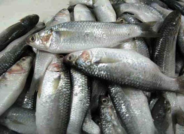 صید بیش از ۹۷ تن ماهی گاریز در هرمزگان