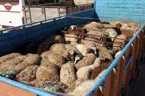 دستگیری یک قاچاقچی گوسفند زنده در خمینی شهر / کشف 199 راس گوسفند