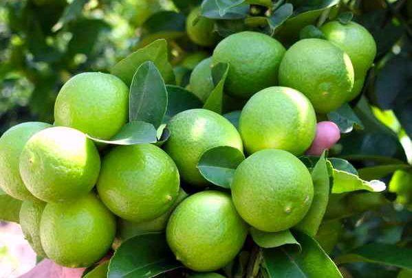 لیموترش میناب به کشور امارات متحده عربی صادر میشود