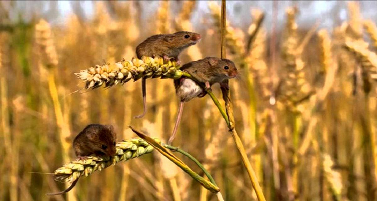 افزایش سطح مبارزه با جوندگان کوچک در مزارع خراسان رضوی
