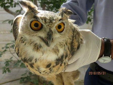 تحویل یک پرنده شاه بوف به اداره حفاظت محیط زیست مبارکه