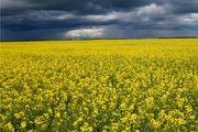 پیش بینی تولید ۲۰۰ هزارتن کلزا در سال زراعی جاری
