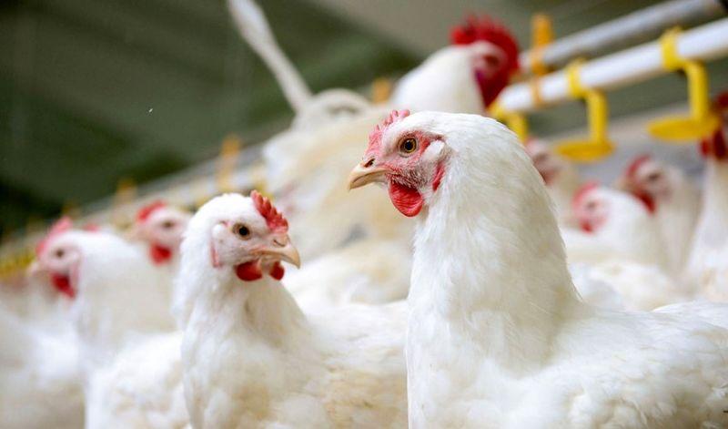 کشف مرغ قاچاق در بهار