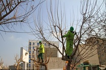 مختاری:هرس توسط کارشناسان خبره صورت می گیرد/فراهانی:هرس زود هنگام شهرداری آسیب های جدی به درختان می زند
