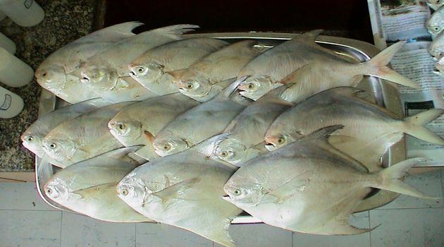 صید ماهی حلوا سفید ممنوع شد