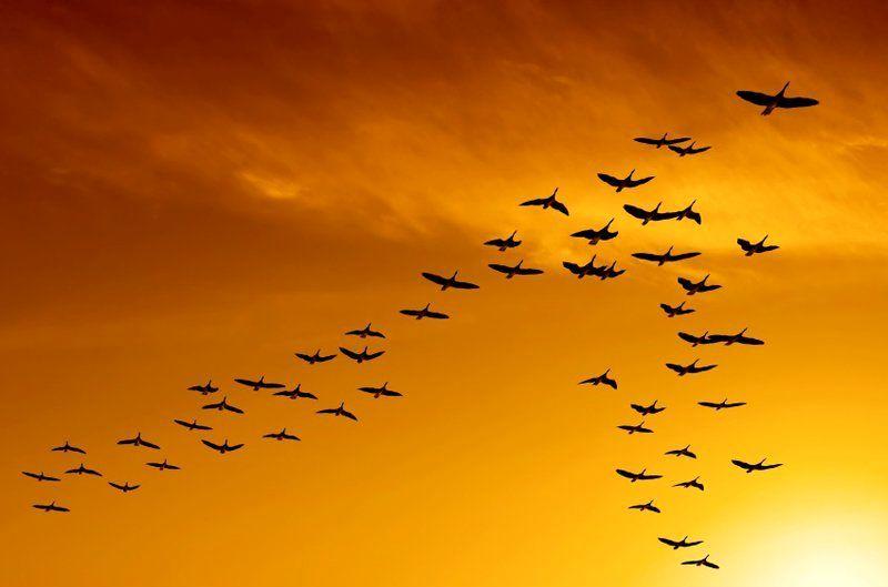 کوچ زمستانی پرندگان مهاجر به زیستگاه های سیریک آغاز شد