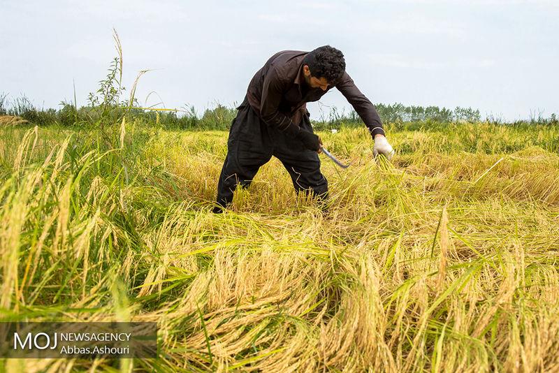 مهمترین دغدغه فصل زراعی برنجکاری در پیش رو کمبود آب است