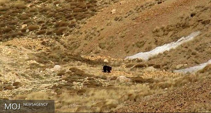 حضور خرسهای قهوهای در ارتفاعات شمال تهران